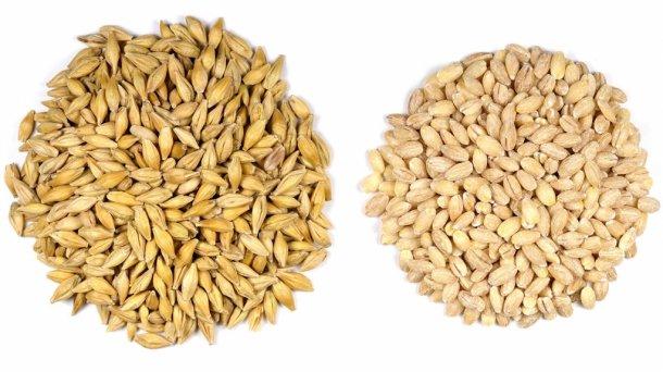 Granos de cebada (Hordeum vulgare L.) con cáscara (izquierda) y sin cáscara (derecha). Foto de Sanjay Acharya.