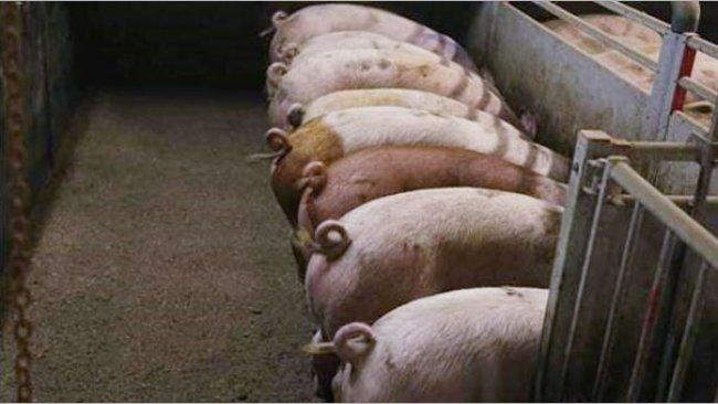 Foto1. Cerdos con colas intactas. Foto cortesía de Inge Böhne