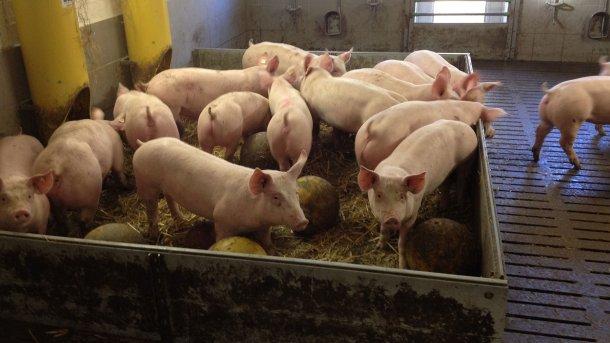 Foto 2. Los materiales manipulables y juguetes para los cerdos reducen potencialmente la probabilidad de brotes de mordeduras de cola. Foto por cortesía de Inge Böhne