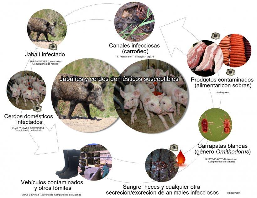 Figura 1. Rutas de transmisión del virus de la PPA, incluyendo el contacto directo e indirecto con animales infecciosos, sus productos, excreciones/secreciones y/o sangre, canales, diversos fómites contaminados y vectores biológicos (elaboración propia).