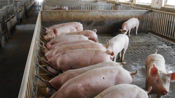 Fotografía 2. Típicos alojamientos para cerdos reproductores y de engorde/acabado en la granja afectada.