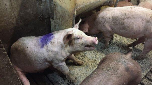 Figura 1. Cerdo tosiendo en un corral hospital. Nota: El comedero del corral hospital tiene pienso en harina ad libitum.