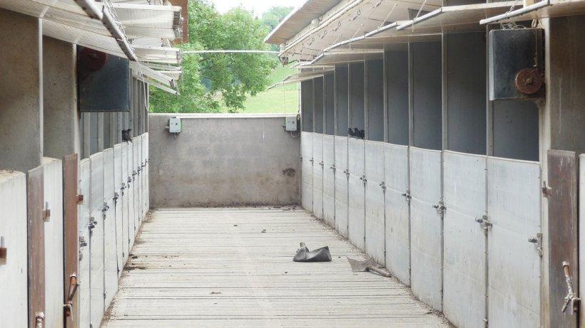 Figura 6. Estorninos en contacto directo con los cerdos, comiéndose los restos de pienso que quedan en los comederos.