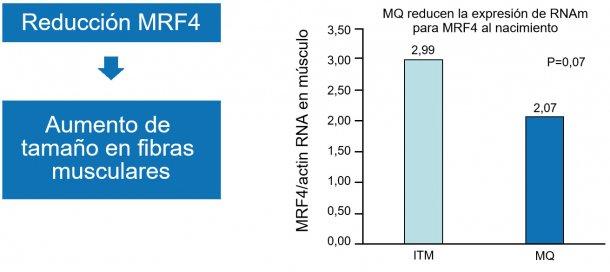Figura 1. La reducción del factor nuclear MRF4 incrementa el crecimiento muscular (hipertrofia).