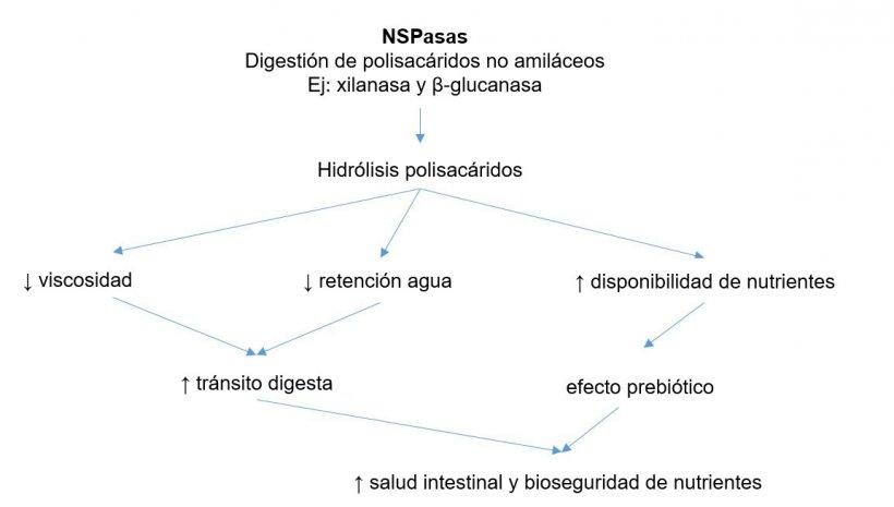 Mecanismo acción de las enzimas exógenas. Las enzimas exógenas tienen actividad prebiótica al hidrolizar polisacáridos no amiláceos a oligosacáridos utilizables por determinadas bacterias. Adaptado de Sinha 2011