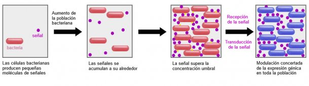 Un sistema prometedor es la capacidad de incidir en el mecanismo de señalización entre bacterias (Quorum sensing) mediante determinados probióticos. De esta forma se puede impedir que realicen estrategias comunes de supervivencia como la formación de biofilms o la esporulación en condiciones adversas.