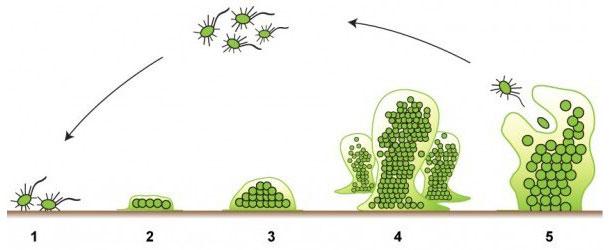 Las cinco fases de la formación de biofilm. Fuente: http://www.emerypharmaservices.com/