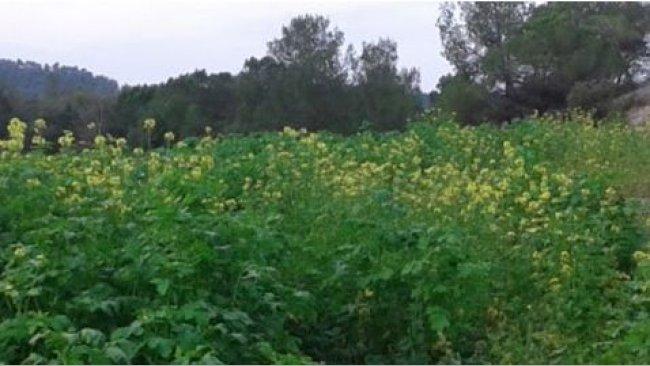 Plantación de mostaza en el campo A en octubre