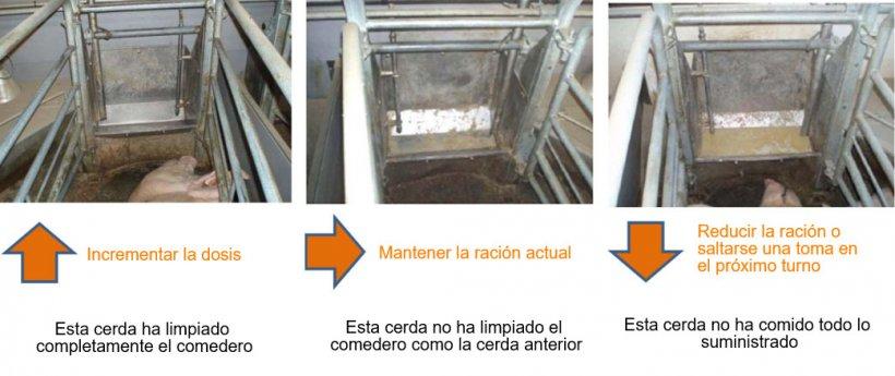 Figura 2: Al menos 1 vez a día deben revisarse los comederos de las cerdas y, según lo que observamos, decidir si esa cerda puede comer más o no. Fuente: Pig Research Center