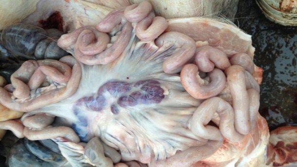 Cerdo infectado por PPA 14 días después de la detección inicial de la enfermedad. Ganglios linfáticos agrandados y hemorrágicos.