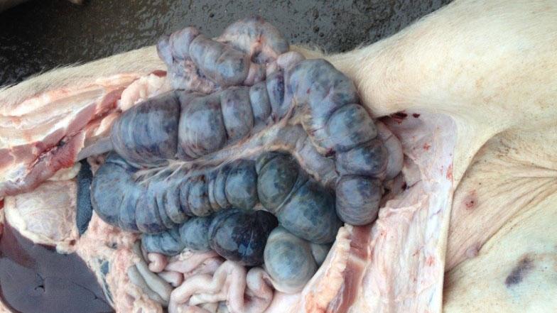 Cerdo infectado por PPA 14 días después de la detección inicial de la enfermedad. Lesiones hemorrágicas en el intestino grueso.