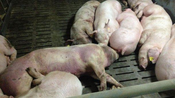 Cerdo infectado por PPA 14 días después de la detección de la enfermedad. Lesiones hemorragicas severas en todo el cuerpo.