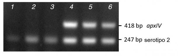 Figura 2. Comparación de la amplificación de bandas a partir de PCR de colonias purificadas (líneas 1-3) versus ADN (líneas 4-6) para tres aislados clínicos de serotipo 2 utilizando el mPCR1.