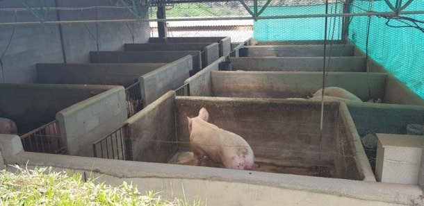 Zona donde se ubican los machos y se introduce la reposición cuando entra en la granja