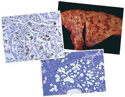 Lesiones infección por el virus del PRRS