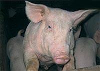 cerdo circovirosis