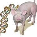 cerdo ADN