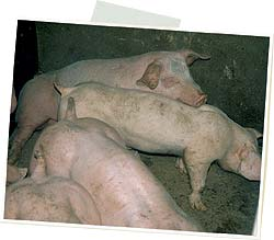 cerdos circovirosis