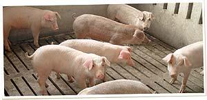 grupo cerdos