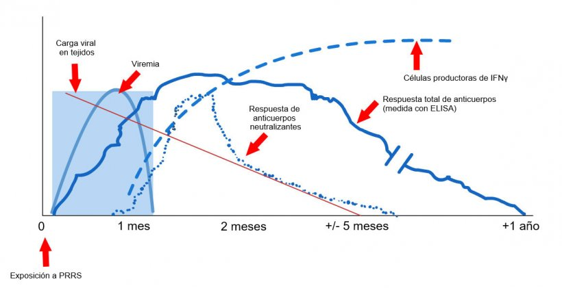 Gráfico 1: Respuesta del sistema inmune de un cerdo infectado por virus PRRS (López y Osorio, 2004).