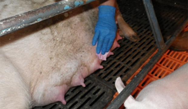 Foto 2. Toma de muestras de la piel de la ubre con toallitas para detectar gripe en granjas de cerdas.