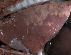 pulmón cerdo 3 meses afectado por complejo respiratorio porcino
