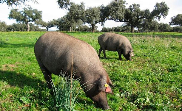 Proyecto sobre inmunocastración de machos de cerdo Ibérico
