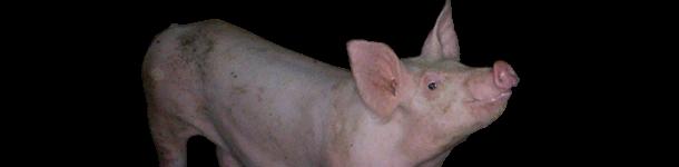 Cerdo con moscas