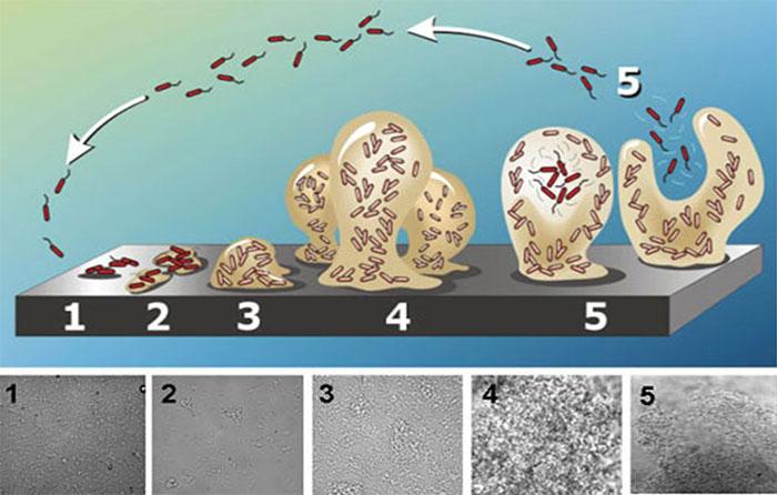 Imagen 1. Representación esquemática de la formación de biofilm, desde la adhesión bacteriana a la superficie, hasta la formación de biofilm maduro, constituido por polisacáridos. Forma de seta previa al desprendimiento. Fuente:Abraham Adu-Gyamfi