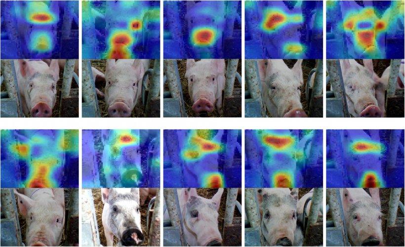Figura 6: Reconocimiento facial aplicado a porcino. Fuente: Hansen et al. 2018