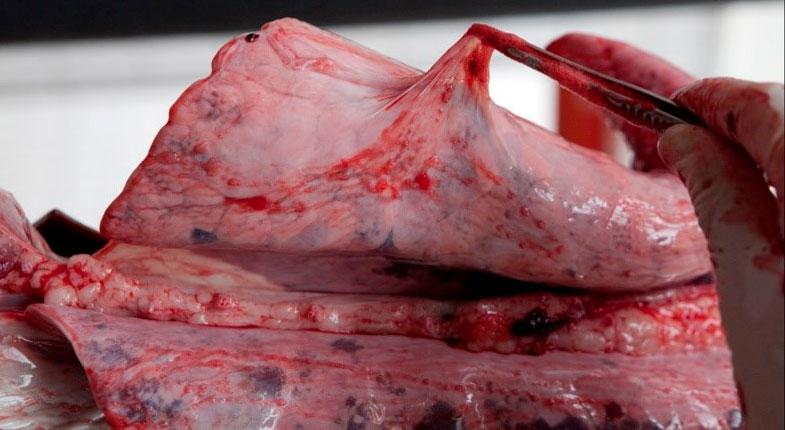 Figura 6: Hallazgo de matadero: pleuritis fibrosa.