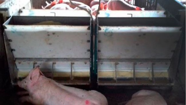 Foto 1. Cerdos en un comedero.