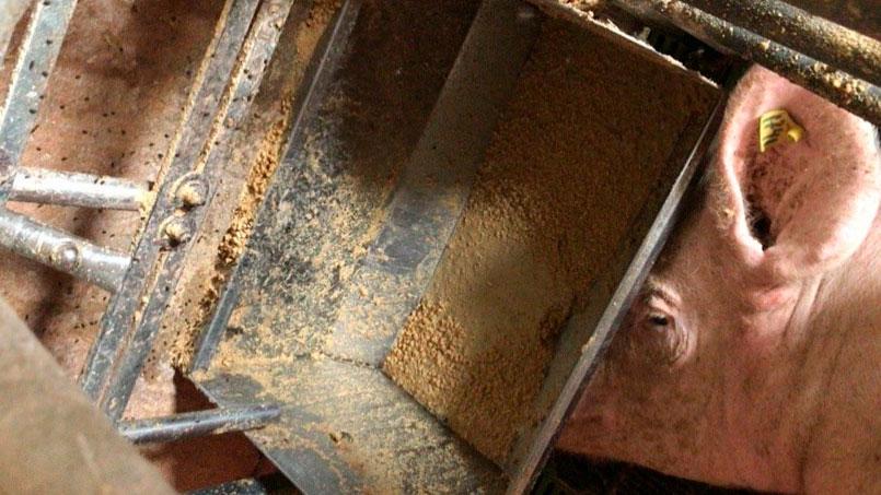 Imagen 2. Hay que controlar la alimentación en periparto y los días siguientes al parto evitando que la cerda rechace el pienso.