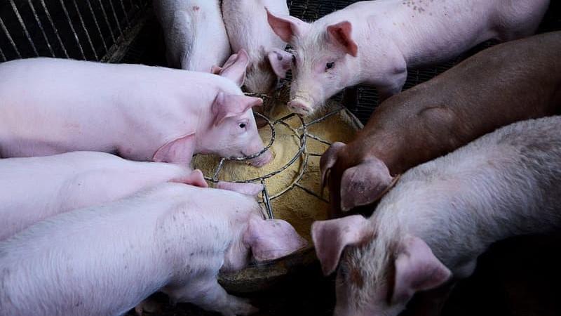Los probióticos pueden modular mejor la microbiota de un animal joven que la de un cerdo maduro.