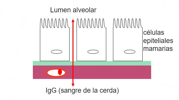 Figura 2. Ilustración esquemática de las uniones estrechas mamarias durante la fase de calostro.