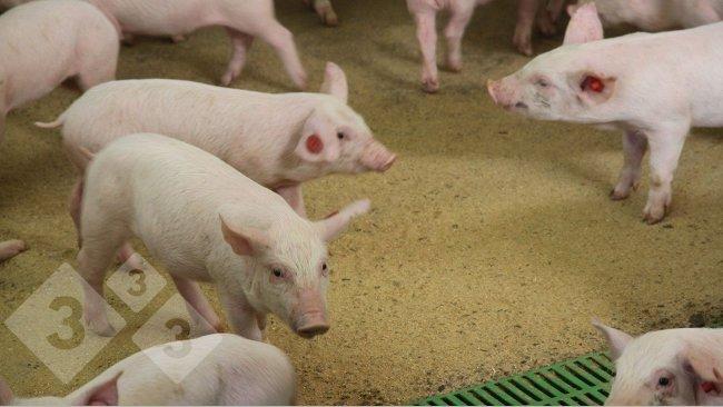 Image 1. Pigs in nursery barn