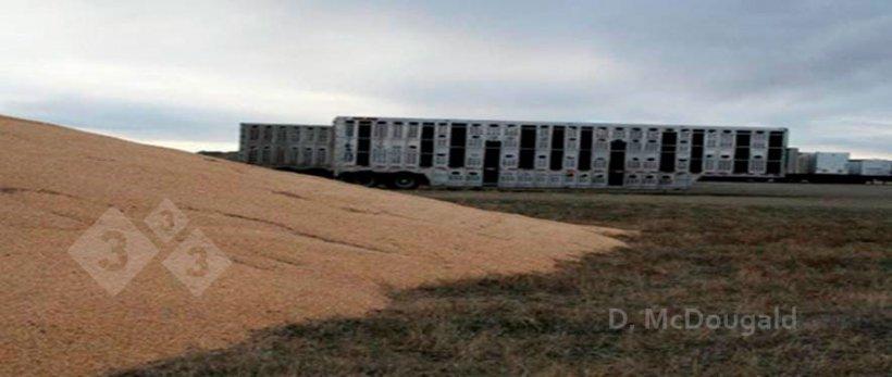 Imagen 2. Proximidad de vehículos de transporte contaminados y almacenamiento a la intemperie de maíz. Cortesía del Dr. Doug McDougald.