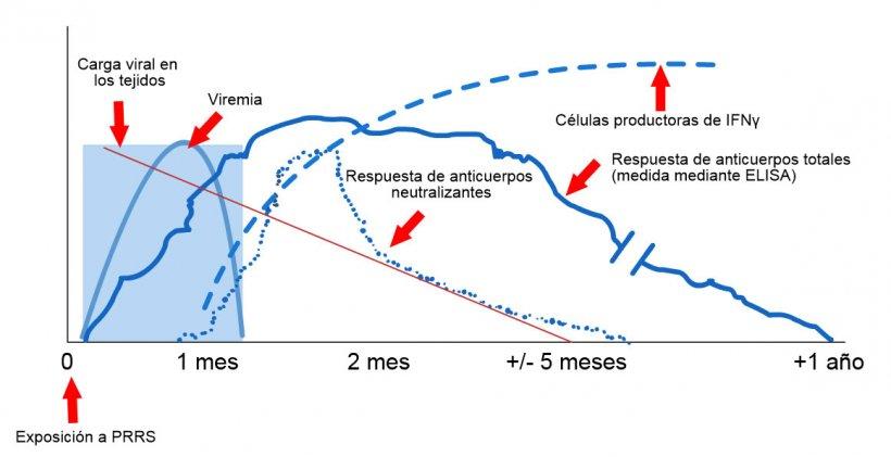 Esquema de detección de virus y anticuerpos después de la exposición al PRRS: El siguiente gráfico muestra los cambios en la concentración (eje Y) a lo largo del tiempo (eje X) de los diferentes analitos utilizados en los ensayos. Después de la exposición al virus del PRRS, aparece virus en la sangre (viremia) que suele durar entre 2 y 4 semanas, dependiendo de la edad y el estado inmunológico del cerdo. La seroconversión (detección de anticuerpos) suele ocurrir entre 7 y 10 días después de la exposición y dura varios meses antes de volverse seronegativa. Los anticuerpos neutralizantes aparecen entre 4 y 6 semanas después de la exposición (López y Osorio, 2004).