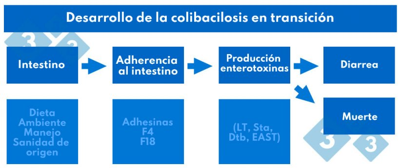 Cuadro 2. Desarrollo de la colibacilosis en transición.