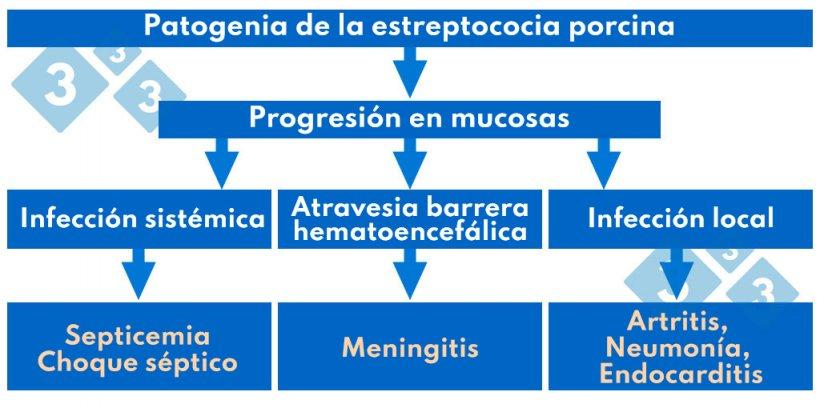 Cuadro 1. Patogenia de la estreptococia porcina.
