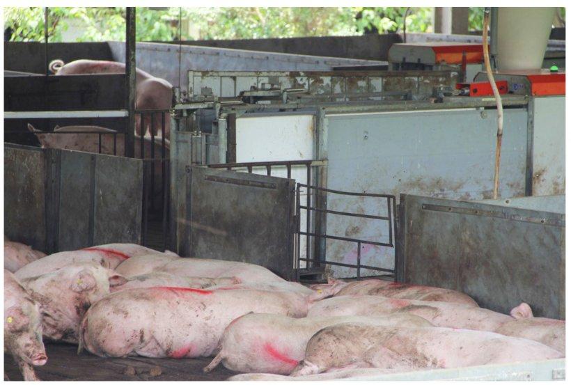 Compartimentación sanitaria en la producción porcina. Fuente: divulgação Seagri-DF