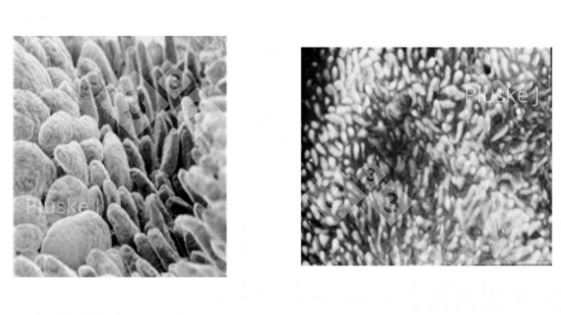 Figura 1. Cambio en la estructura del intestino delgado cinco días después del destete (derecha) en comparación con un lechón antes del destete (izquierda) (Pluske, 1995).