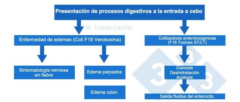 Esquema 1. Patogenia de los procesos colibacilares en la entrada a cebo en porcino