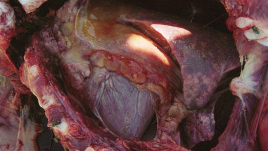 Pleuropneumonía en los lóbulos diafragmáticos y pericarditis