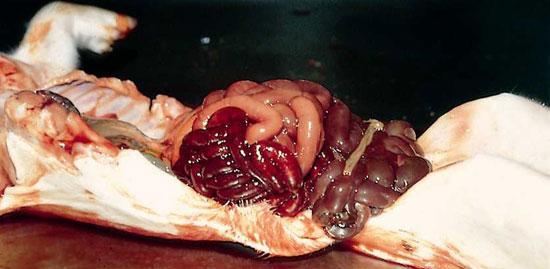 Enteritis hemorrágica
