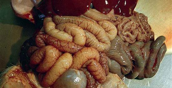 Lesiones de tipo necrótico-hemorrágico, circunscritas a determinados (y en general pequeños) tramos del intestino delgado