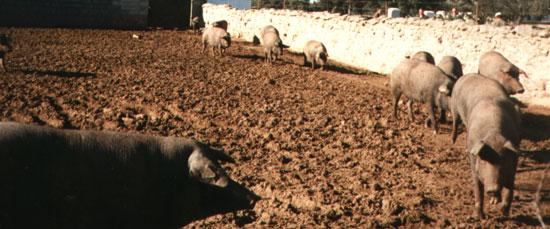Granja de producción con cerdas de Raza Ibérica