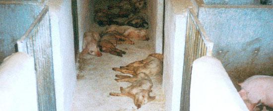 Lechones muertos