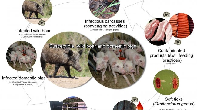 Figure 1. Routes of transmission for African swine fever virus including direct and indirect contact with infectious animals, their products, excretions/secretions and/or blood, carcasses, different contaminated fomites, and biological vectors (own elaboration).