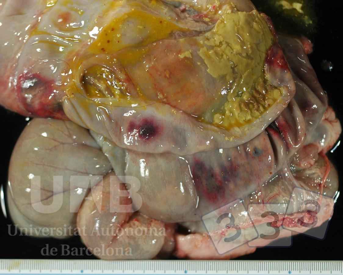 Atlas de patología - 3tres3, la página del Cerdo